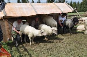dojenie owiec