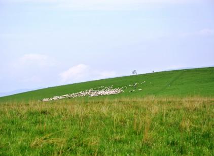 owce na hali 2